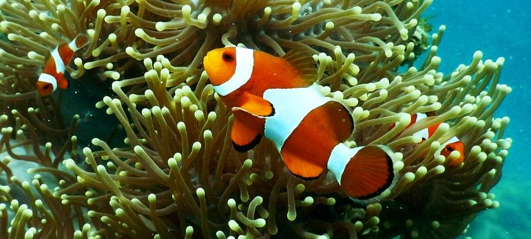 A clown fish under water